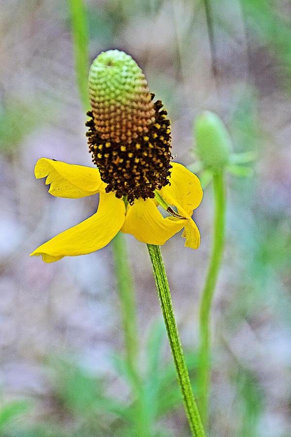 Hogyan neveljünk mexikói kalapnövényeket (Prairie Coneflower)