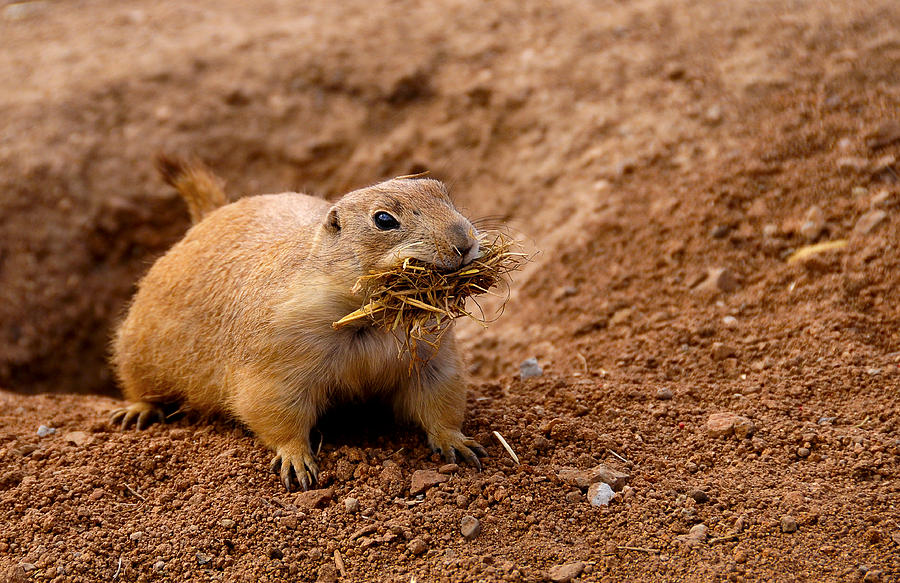 America Photograph - Prairie Dog by Don and Bonnie Fink
