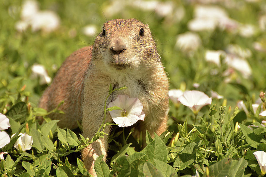 Prairie Dog by Nancy Landry