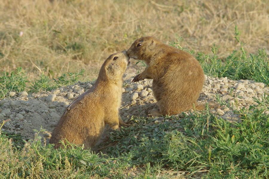 Prairie Dogs Kissing Photograph