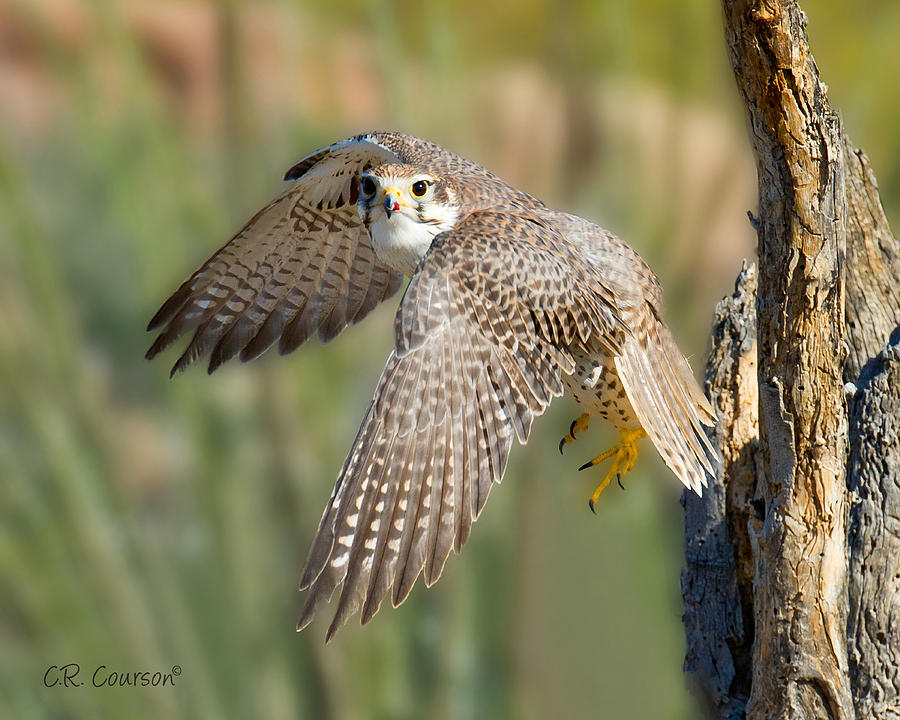Falcon Photograph - Prairie Falcon Taking Flight by CR  Courson