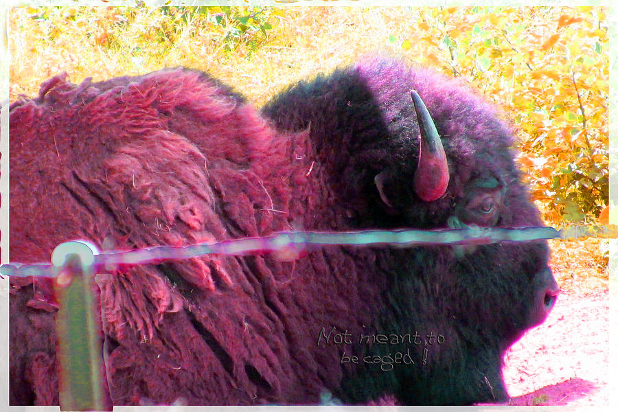 Buffalo Photograph - Prairie Icon Not Meant To Be Caged by Feather Redfox