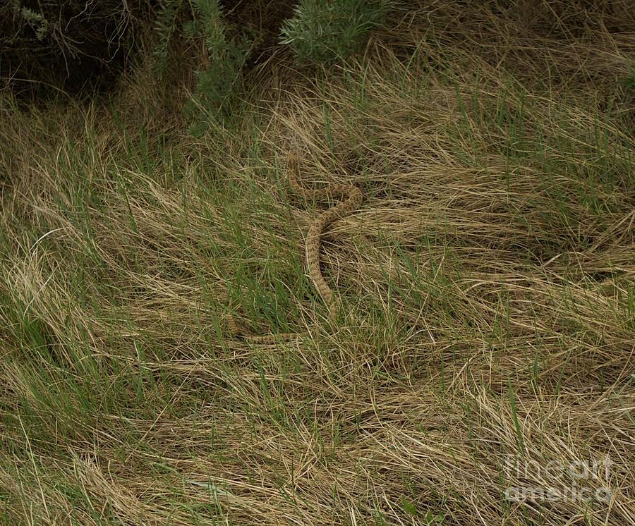 Prairie Rattlesnake Photograph