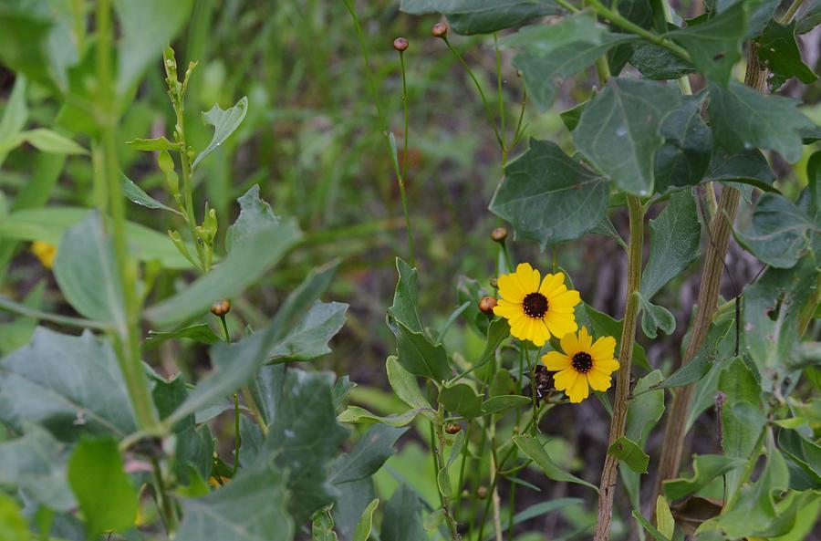 Flower Photograph - Prairie Tickseed by Warren Thompson