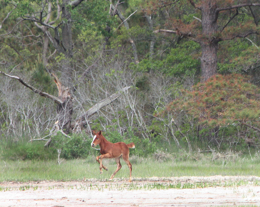 Foal Photograph - Prancer by Captain Debbie Ritter
