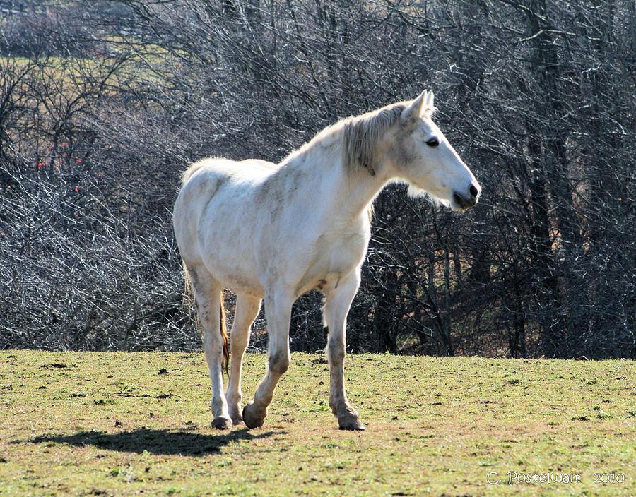 Horses Photograph - Prancing  by Carolyn Postelwait