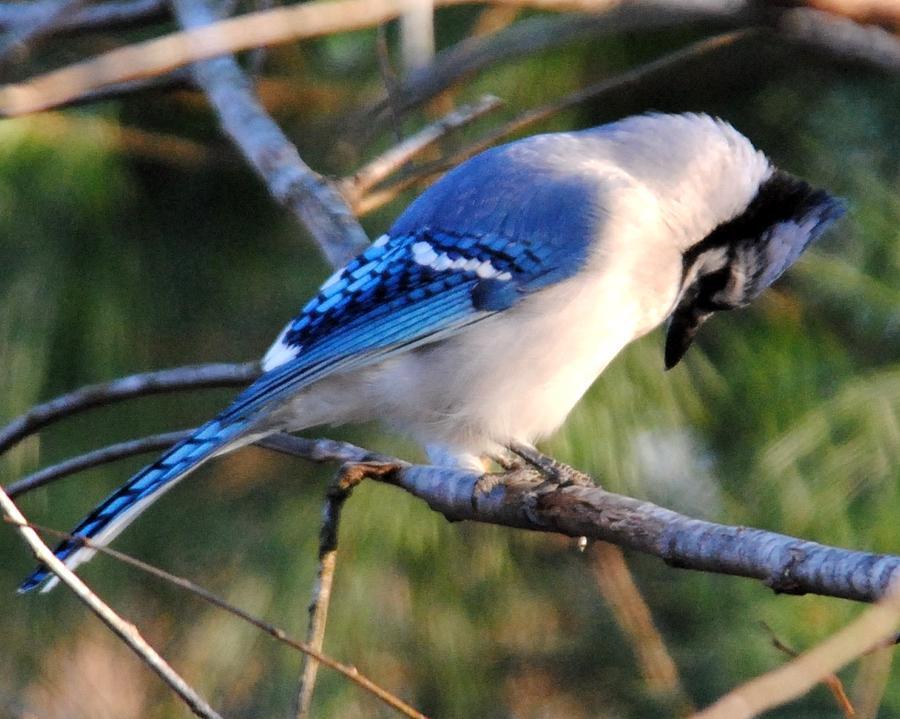 Blue Jay Photograph - Praying Blue Jay by Jai Johnson