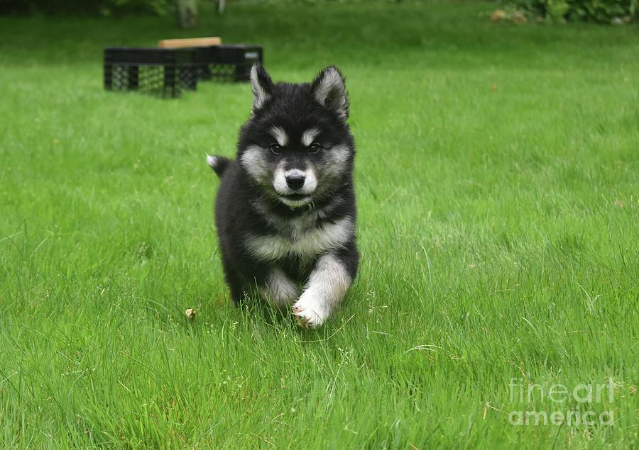 Dog Photograph - Precious Alusky Puppy Dog Running In A Yard by DejaVu Designs