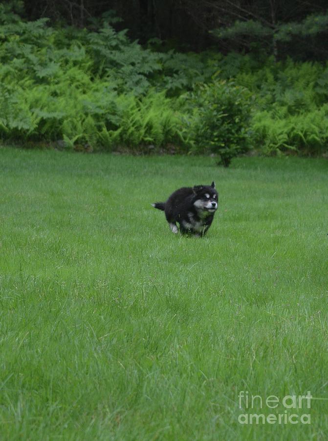 Precious Alusky Puppy Dog Running Through A Field Photograph By