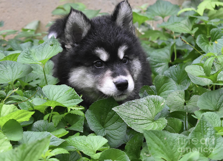 Dog Photograph - Precious Fluffy Alusky Puppy Dog In Green Foliage by DejaVu Designs