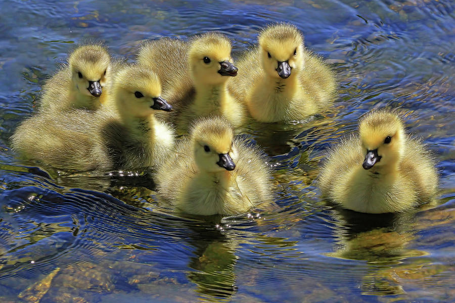 Goslings Photograph - Precious Goslings by Donna Kennedy