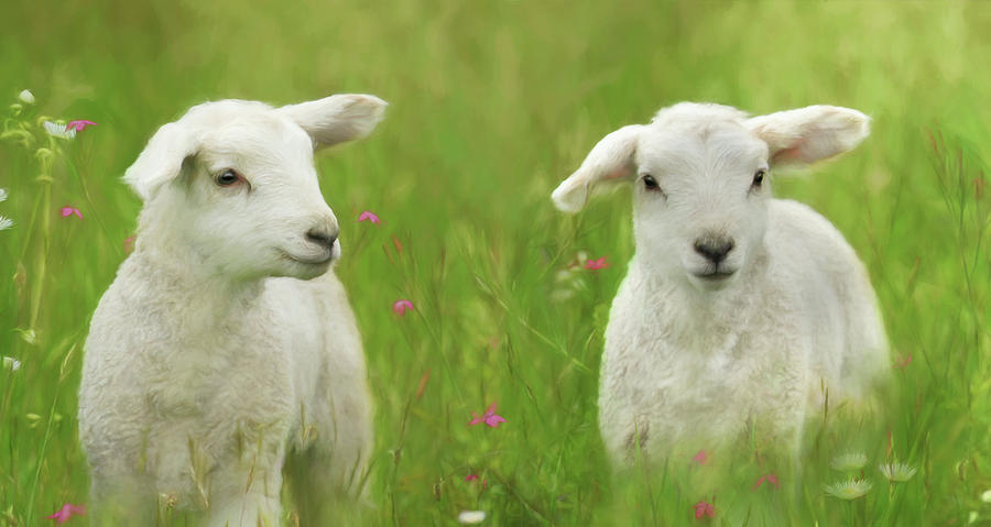 Lamb Photograph - Precious Lambs by Lori Deiter