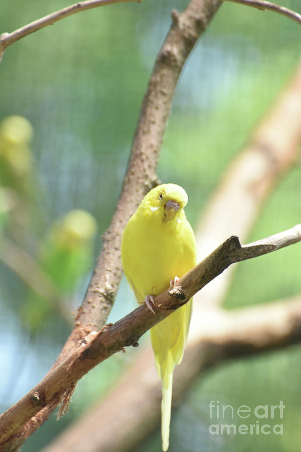 Budgie Photograph - Precious Yellow Budgie Parakeeet In The Wild by DejaVu Designs