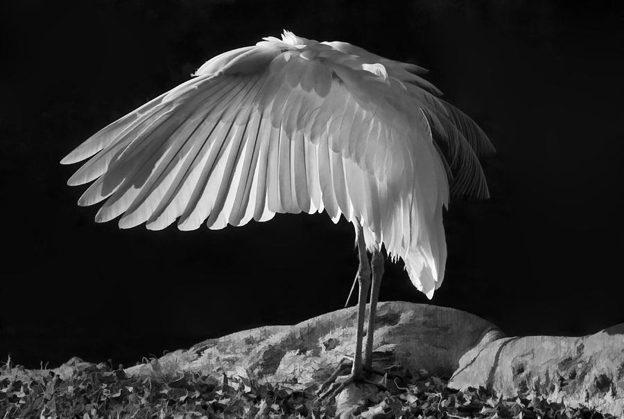 White Egret Photograph - Preening Great Egret By H H Photography Of Florida by HH Photography of Florida