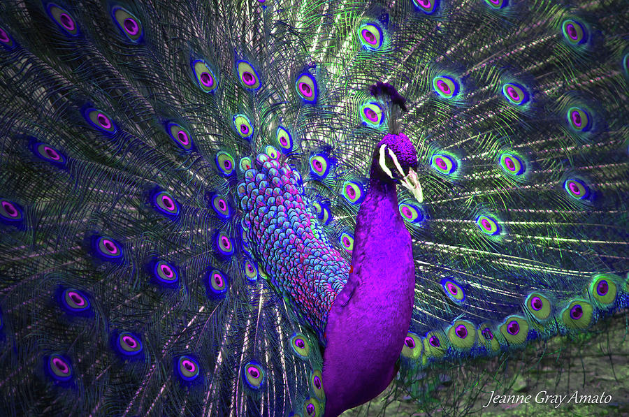 Preening Purple Peacock Photograph By Jeanne Gray Amato