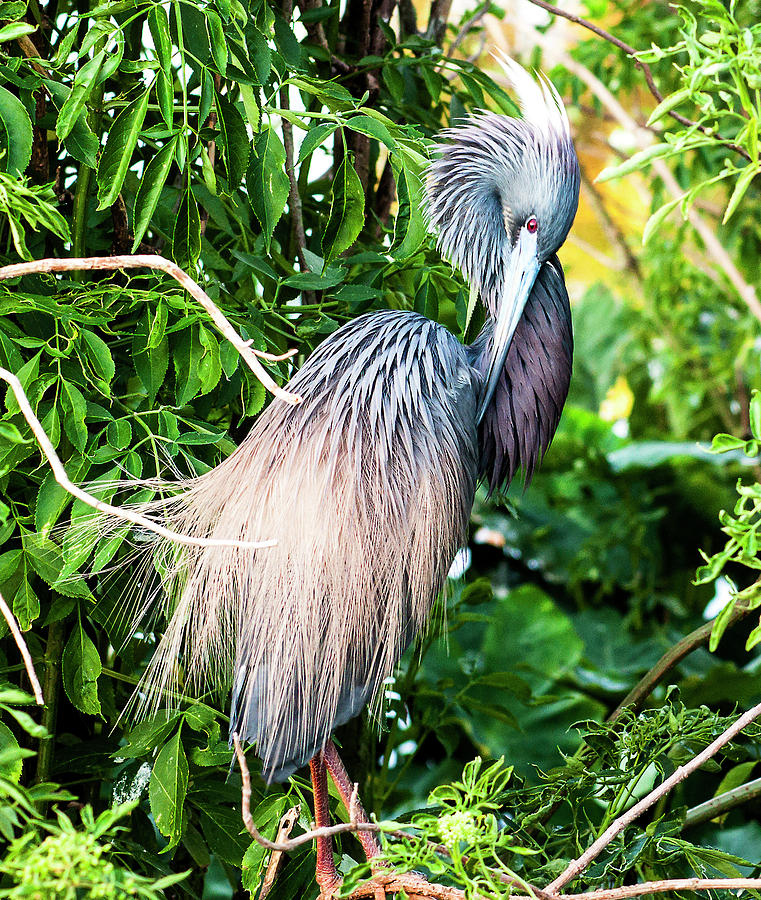 Tricolored Heron Photograph - Preening Tri-Color by Norman Johnson
