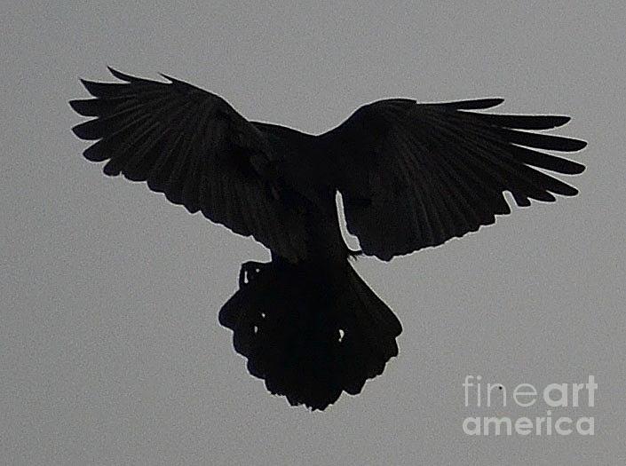 Crow Photograph - Preparing To Land by Jennifer Conroy