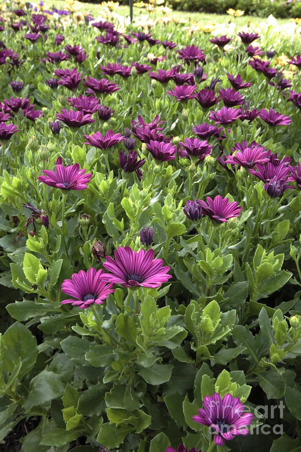 New England Photograph - Prescott Park - Portsmouth New Hampshire Osteospermum Flowers by Erin Paul Donovan