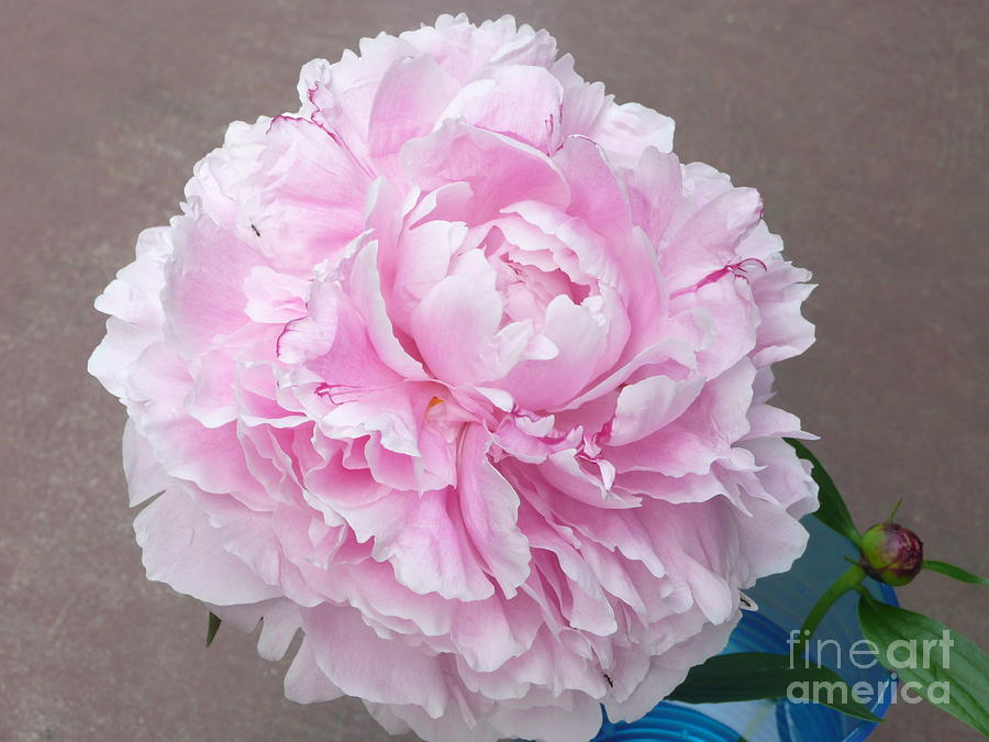 Pretty And Pink Photograph by Barb Montanye Meseroll