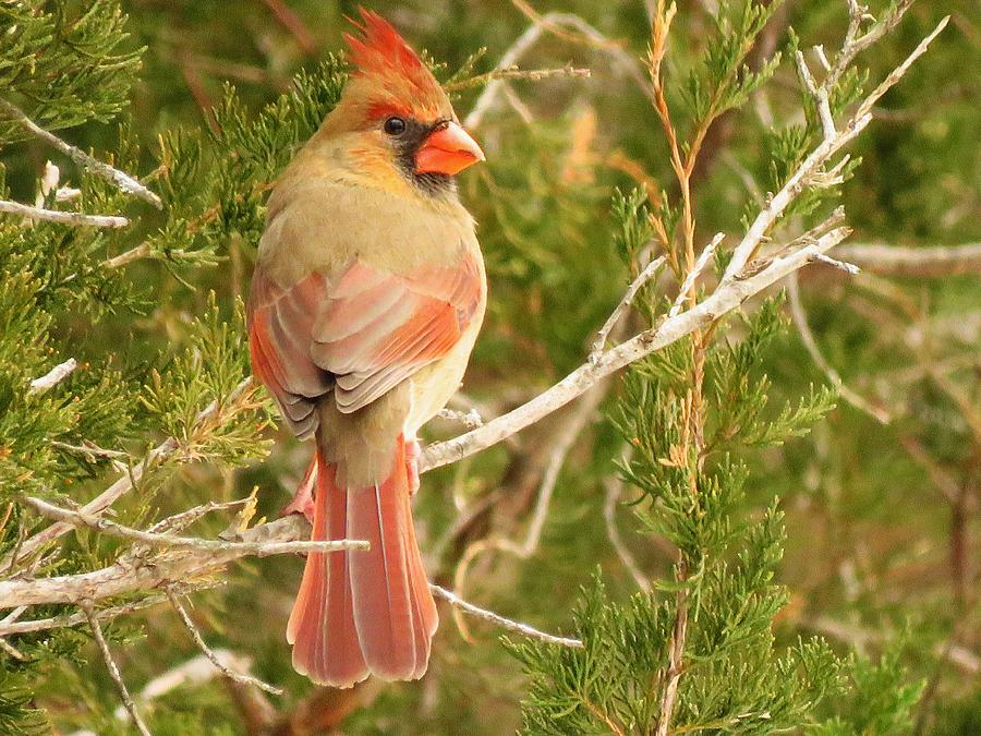 Cardinals Photograph - Pretty As A Picture  by Lori Frisch