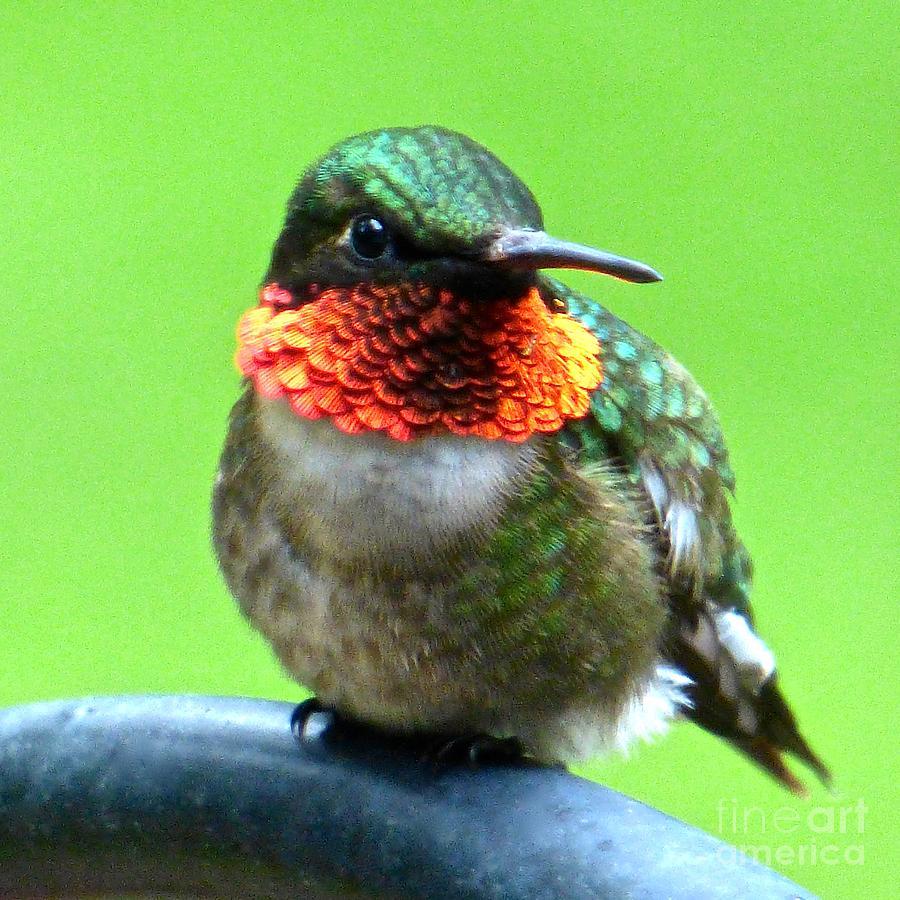 6c8a2e4556aee7 Hummingbird Photograph - Pretty Hummer by Jean Wright