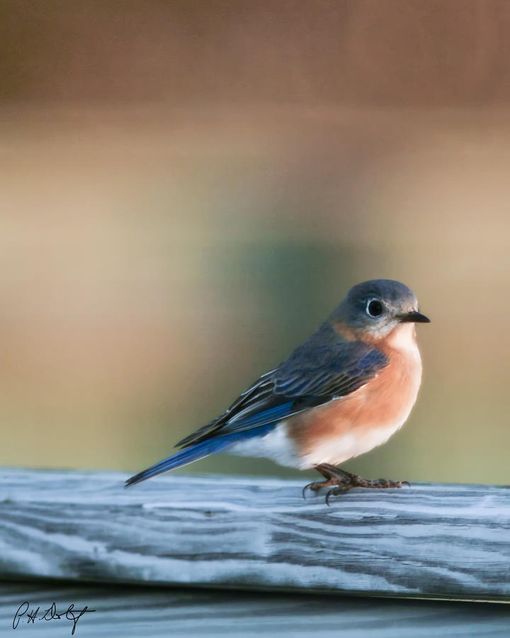 Bird Photograph - Pretty In Blue by Phill Doherty