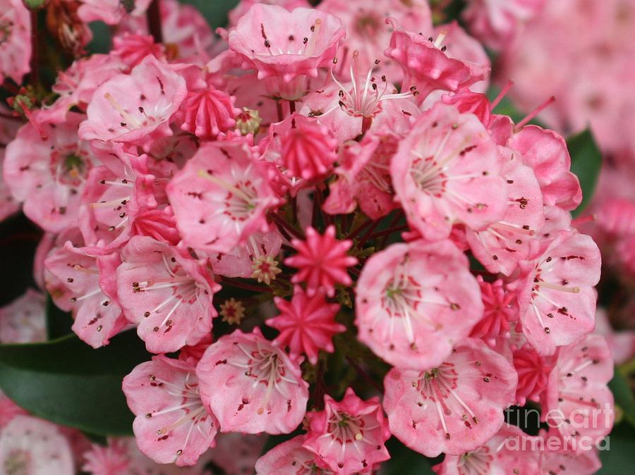 Blossoms Photograph - Pretty In Pink by Amy Holmes