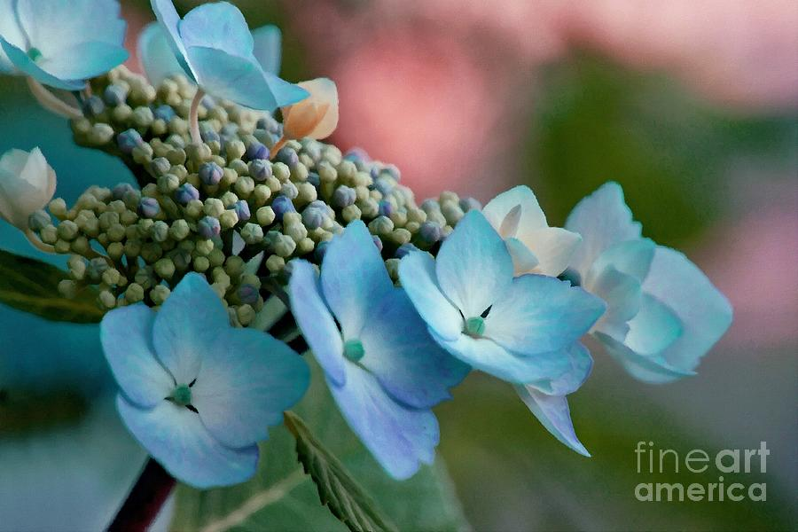 Hydrangea Photograph - Pretty In Pink And Blue by Patricia Strand