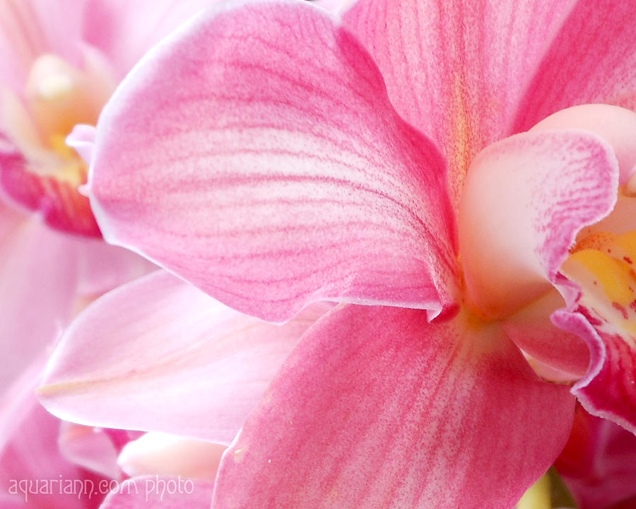 Pretty In Pink Orchid Petals by Kristin Aquariann