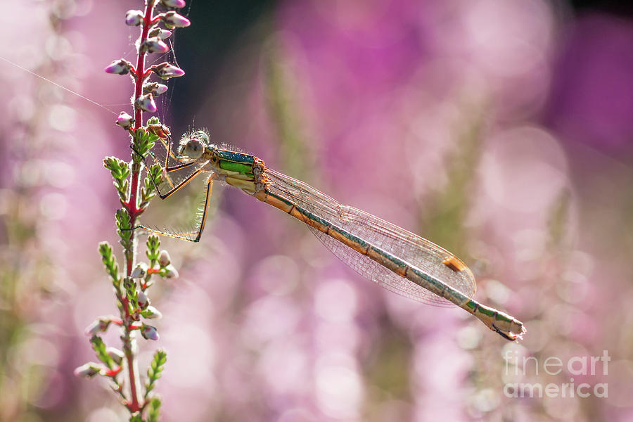 Pretty in Pink by Paul Farnfield