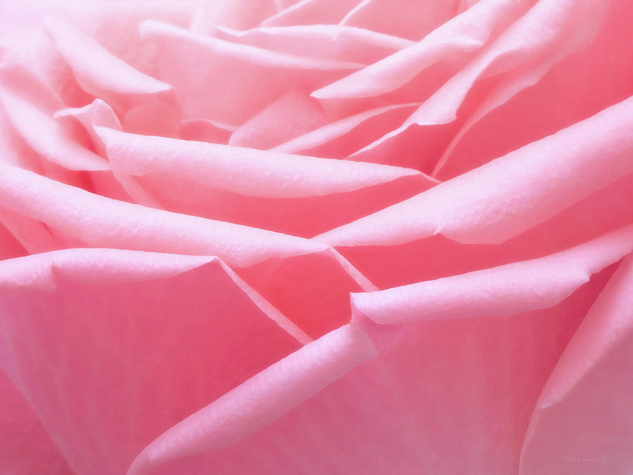 Pink Photograph - Pretty In Pink by Wim Lanclus