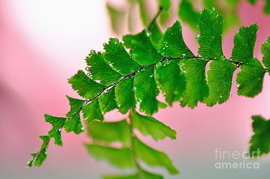 Fern Photograph - Pretty Maiden by Kaye Menner