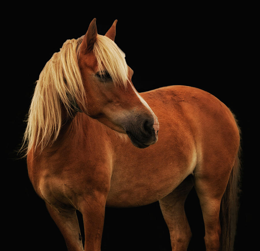 Palomino Pony Photograph - Pretty Palomino Pony by Habile Photography