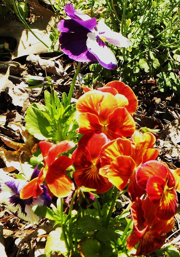 Flowers Photograph - Pretty Pansies by Cindy Gacha