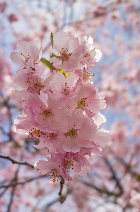 Pretty Pink And Bright - Spring Blossom Photograph