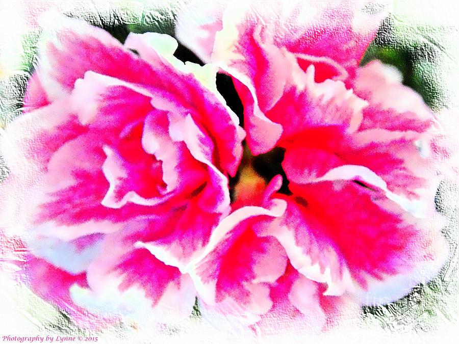 Pretty Pink  Azaleas Photograph