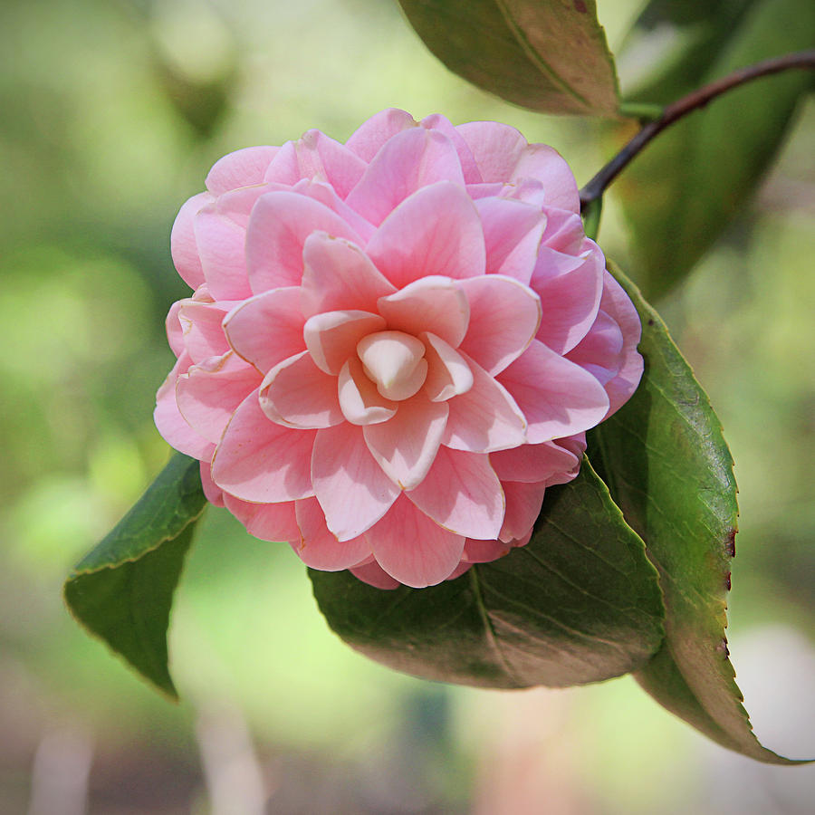 Pretty Pink Camellia 2 Photography By Linda Woods Photograph By