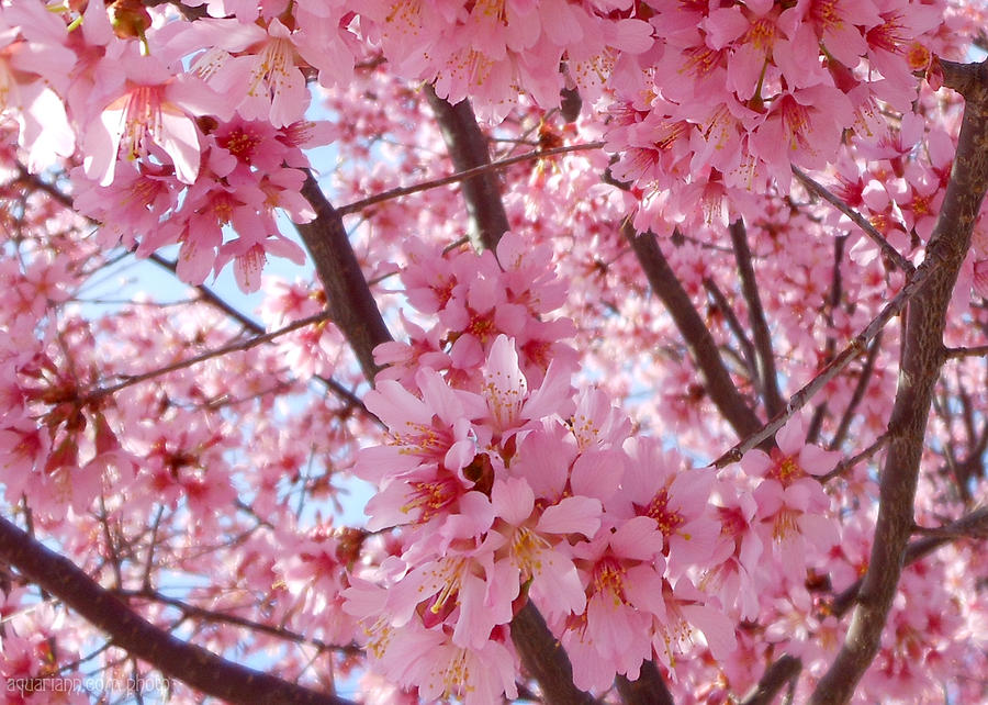 Pretty Pink Cherry Blossom Tree by Kristin Aquariann