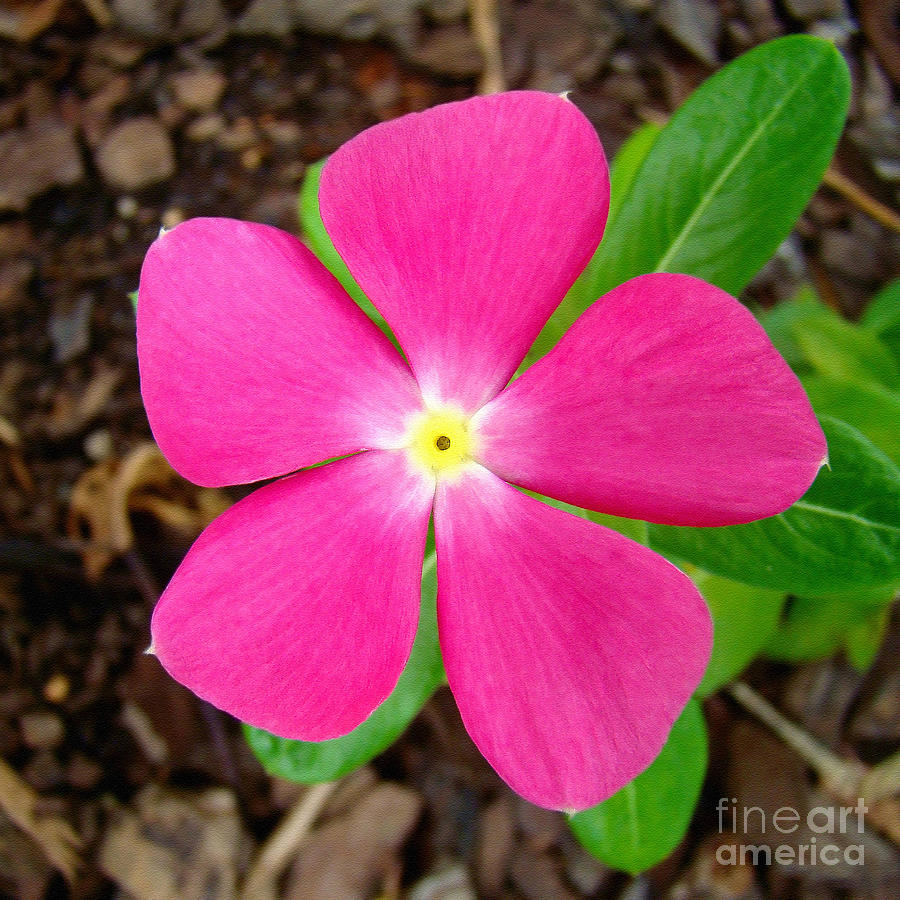 Pretty Pink Periwinkle Photograph By Sue Melvin