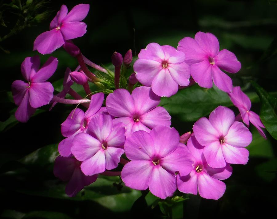 Phlox Photograph - Pretty Pink Phlox  by Lori Frisch