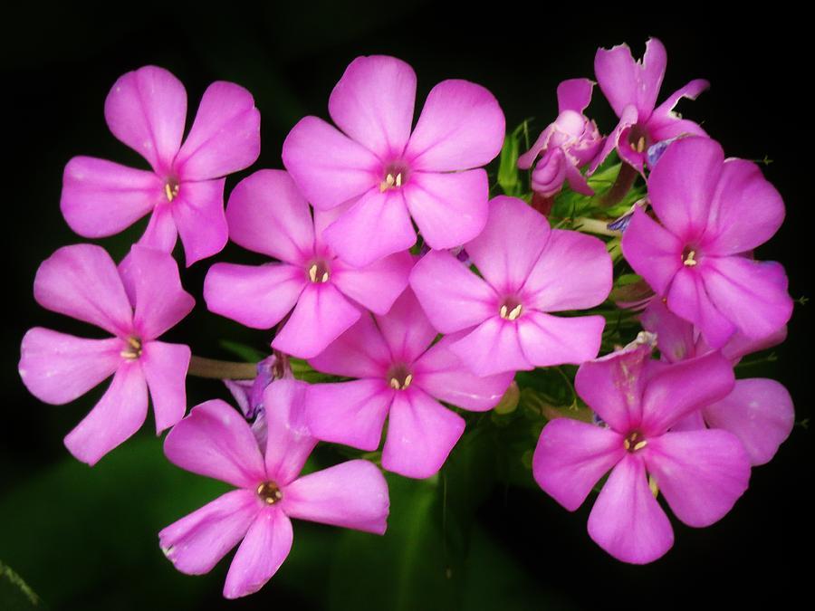 Phlox Photograph - Pretty Pink Prairie Phlox by Lori Frisch