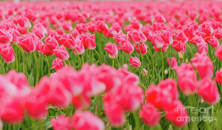Pretty Pink Skagit Tulip Festival Photograph
