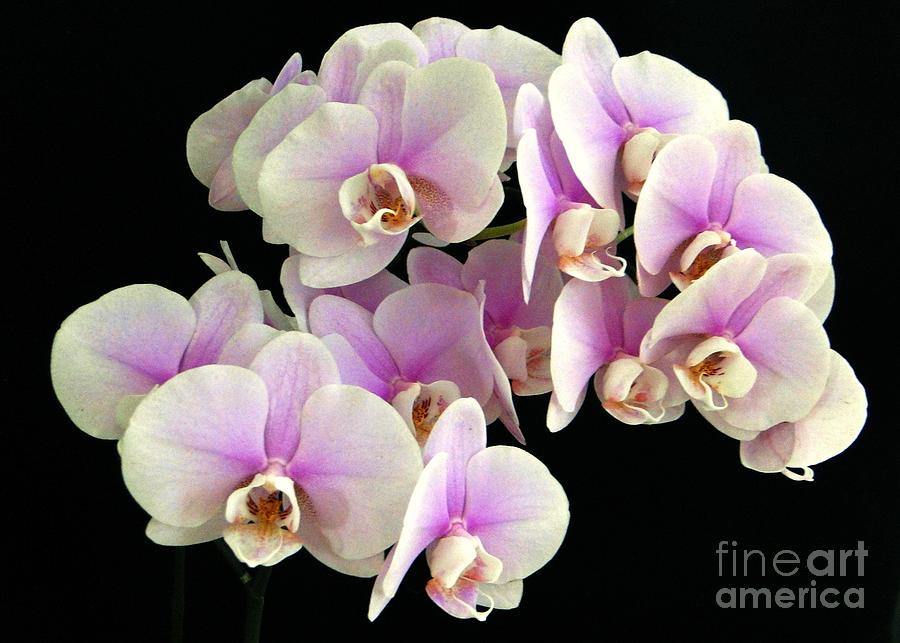 Pretty Profusion Of Orchids Photograph
