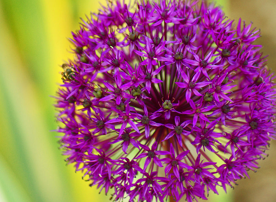 Allium Photograph - Pretty Purple Puffball by Maria Keady