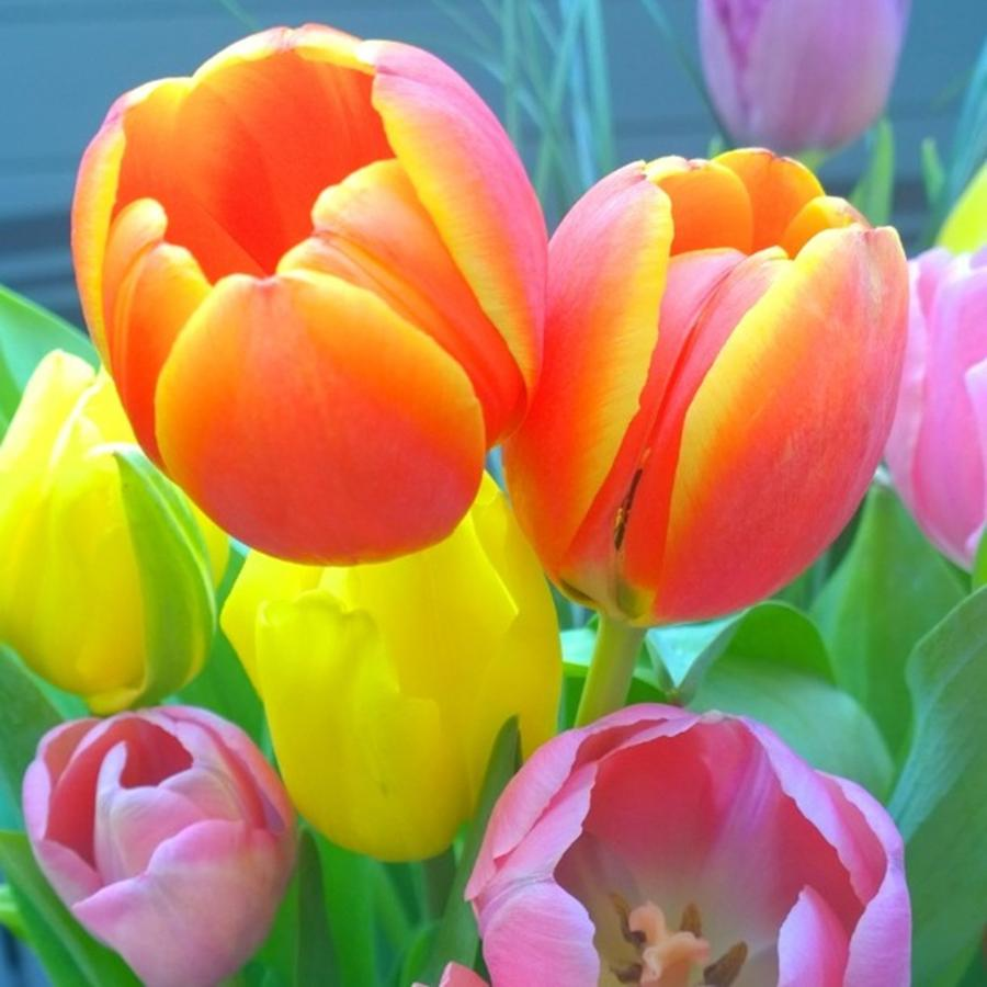 Garden Photograph - Pretty #spring #tulips Make Me Smile by Shari Warren