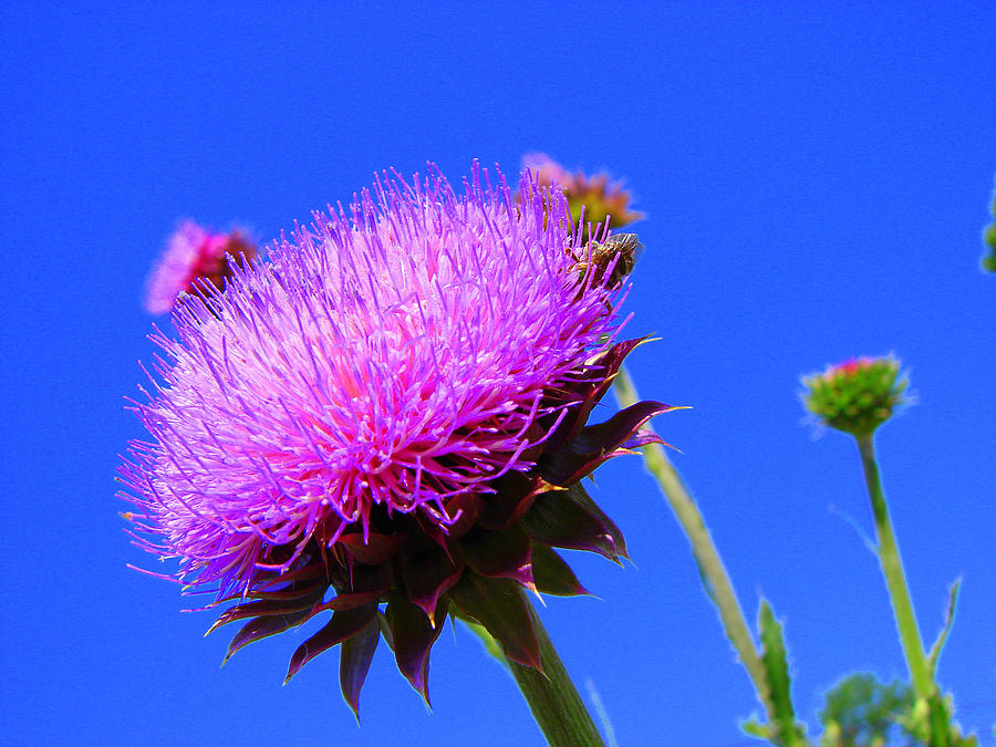 Thistle Bloom Photograph - Pretty Weed by J R   Seymour