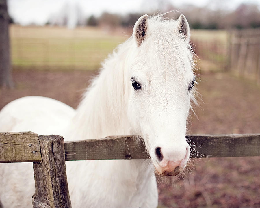 Horizontal Photograph - Pretty White Pony Looking Over Fence by Sharon Vos-Arnold