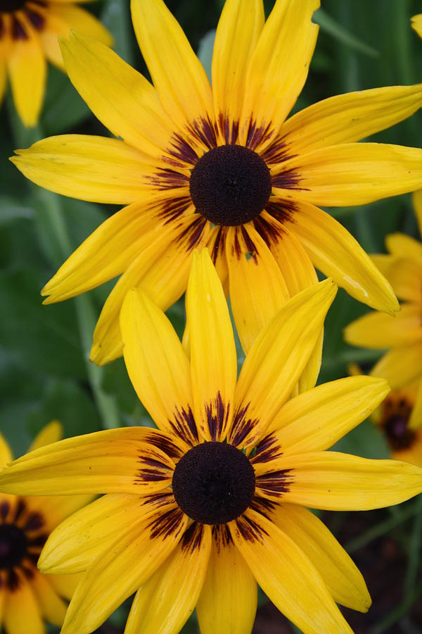 Garden Photograph - Pretty Yellow Flowers by Maria Young
