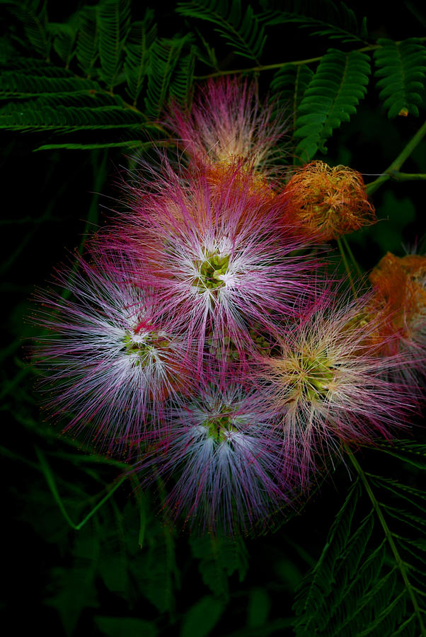 Mamosa Photograph - Prickly Flower by Christopher Lugenbeal