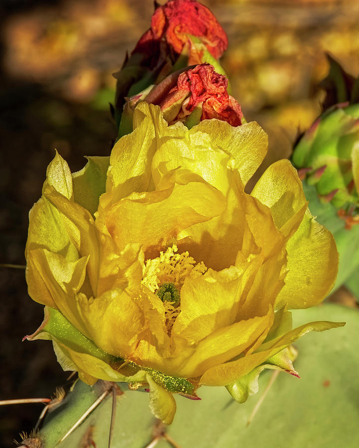 Prickly Pear Blossoms V1815 Photograph